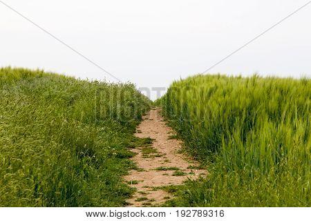 Footpath worn across crop field in southern England