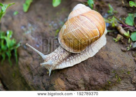Snail gastropod mollusk with spiral sheath on a natural blurred background close-up. top view