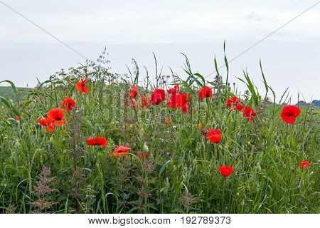 Poppies growing on the South Downs in East Sussex England.