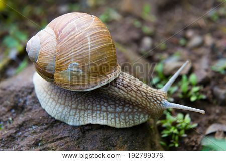 Snail gastropod mollusk with spiral sheath on natural blurred background close-up. Top view