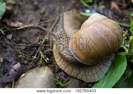 Snail gastropod mollusk with spiral sheath in forest close-up. Top view