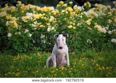 Dog, Puppy bull terrier sits on a grass in the park