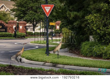 Two Florida Sandhill cranes meander across the seat at the yield sign in a prestigious residential neighborhood