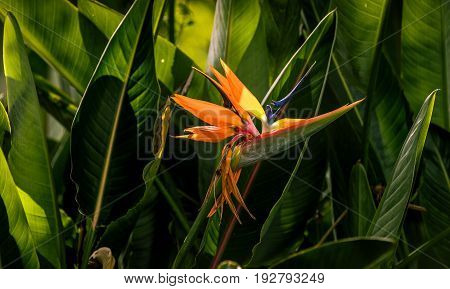 A Bird of Paradise blooms against lush green foliage in the early summer