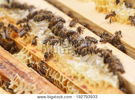 Bees sit on honeycomb in a beehive and eat honey