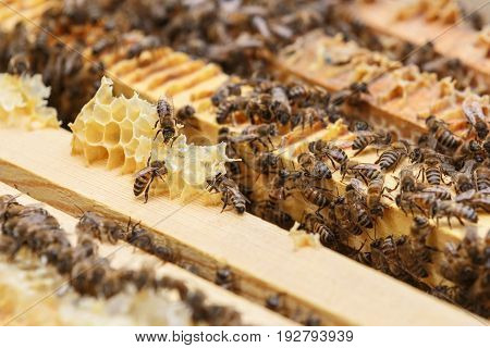 Several bees eat the remains of honey from honeycombs in a hive