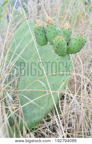 Prickly Pears On The Plant Unripe