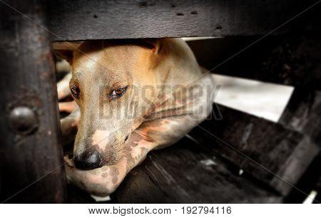 Thai native street dog in sad felling