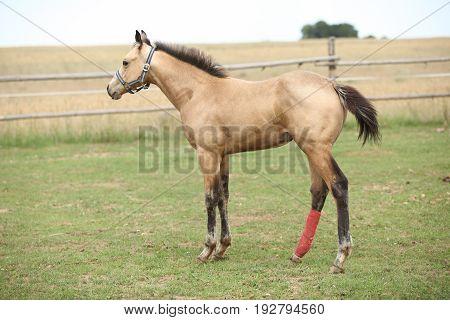 Injured Foal On Pasturage