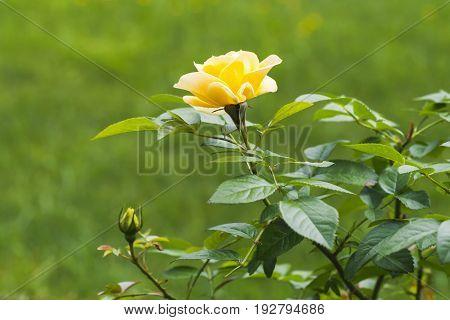 Yellow Rose In Summer Garden. Close-up