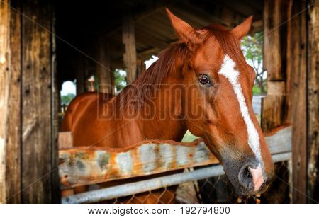 Red Horse In Farm