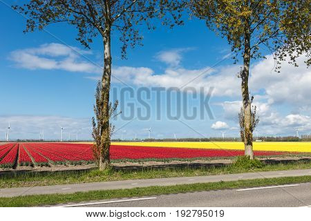 Dutch country road with colorful red and yellow tulip fields and wind turbines