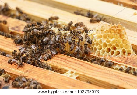 Many bees eat the remains of honey from honeycombs in upper part of hive