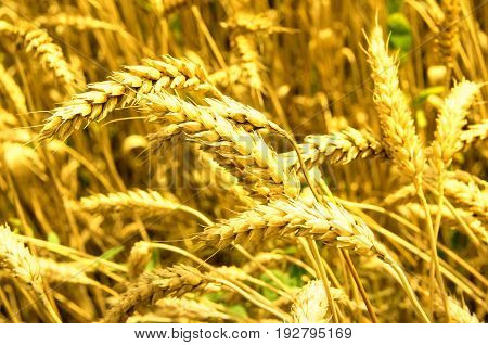 Golden wheat that is ready to harvest. Forthcoming harvest to harvest.