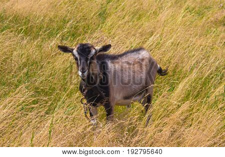 A goat grazing in dry grass in summer