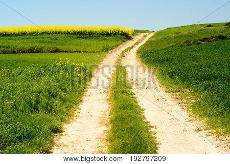 Rural Landscape With Rape Flowers