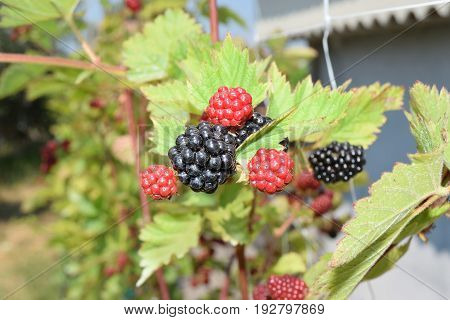 Blackberries Not Yet Ripe On The Plant