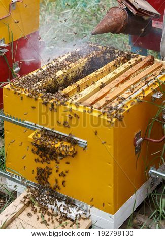 The beekeeper blows smoke on frames with bees in a hive