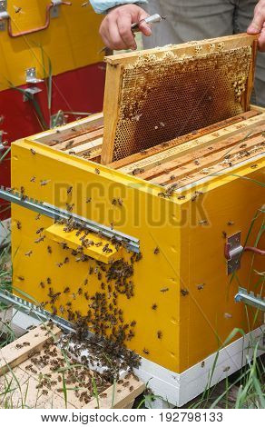 Beekeeper gets out the frame with honey and honeycomb from the hive