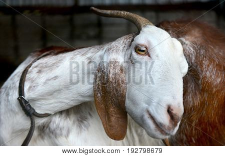 Acting Of Goat