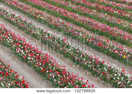 Dutch show garden with several lines of varicolored tulips