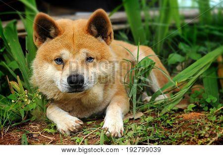 Thai native home dog life alone and sad.