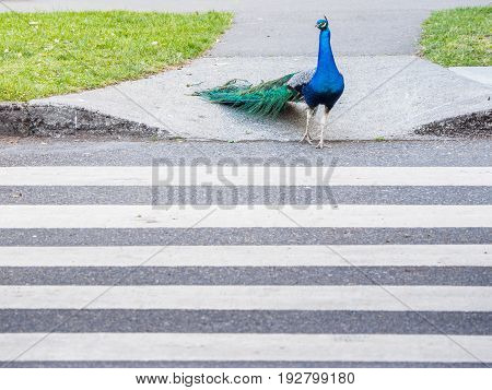 Male peacock crossing the road using pedestrian zebra crossing