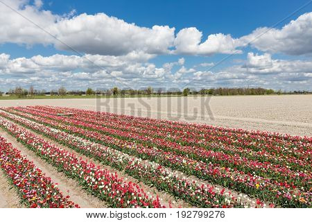 Dutch countryside with show garden of several lines varicolored tulips