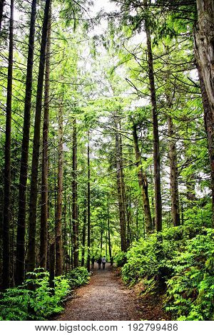 A trio of hikers in the distance are walking a path through an old growth forest in the pacific northwest (Oregon USA).  The surrounding Douglas Fir, Red Cedar, Hemlock and Sitka Spruce dwarf the hikers on the trail.