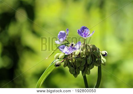 Spiderwort buds and flowers blooming in the day light.