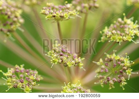 Angelica umbel and blossoms in vibrant colors.