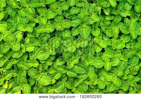 Mint plant wall background vegetable garden Kitchen Mint Marsh Mint