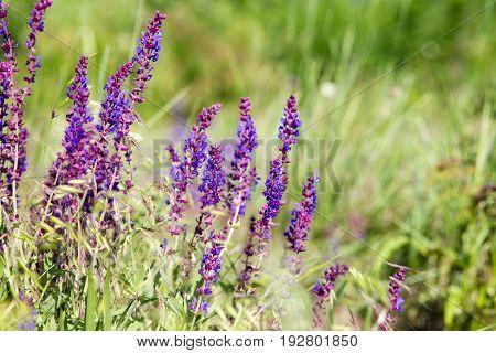Blooming Wild Flower - Meadow Flower. Beautiful Field With Blur Background