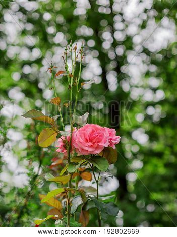 Pink rose with buds in the garden with a beautiful bokeh background. Symbol of love and purity
