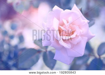 Delicate pink rose with beautiful toning and pastel colors. Rose on a beautiful background. Soft focus