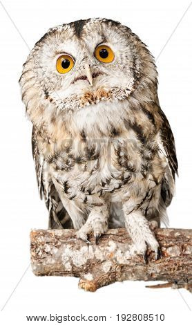 Beautiful great owl white background one animal isolated on white studio shot