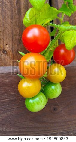 Bush of tasty green yellow orange red summer bio tomatoes. Delicious fresh and juicy vegetables. Wooden background from farming agriculture. Perfect organic food for vegetarian or vegan people.