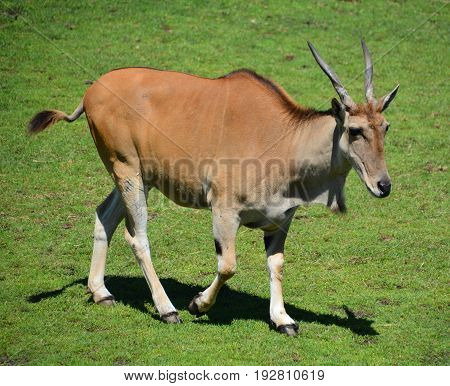 The common eland, also known as the southern eland or eland antelope, is a savannah and plains antelope found in East and Southern Africa. It is a species of the family Bovidae and genus Taurotragus
