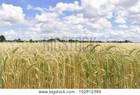 Close up of golden wheat against a cloudy summer sky