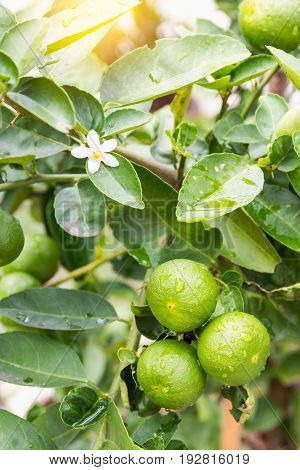 Green limes hanging on tree in farm.