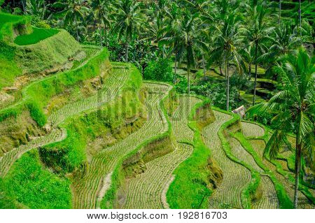The most dramatic and spectacular rice terraces in Bali can be seen near the village of Tegallalang, in Ubud Indonesia.