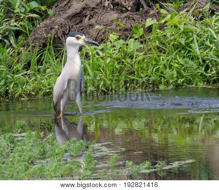 Black-crowned Night Heron (Nycticorax nycticorax) foraging in a pond