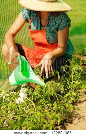 Woman Watering Green Tomato Plants In Greenhouse