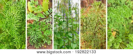 Panoramic banner with set of green organic healthy herbs growing in a garden