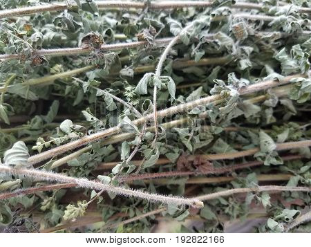 cut stalks of oregano drying outside in the sun