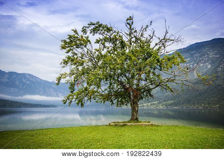 Old big tree standing alone by the lake with high mountains in back, Bohijn Lake, Slovenia
