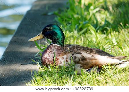 A green headed mallard duck looks out over the lake while basking in the sunshine on a beautiful day