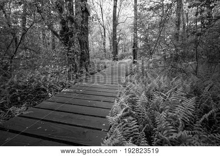 A wooden path runs through the forest, black and white