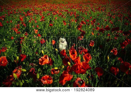 flower field of red poppy seed with green stem with pomeranian spitz or cute dog pet on sunny natural background summer drug and love intoxication opium