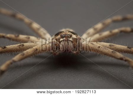Close up of cane spider on gray background